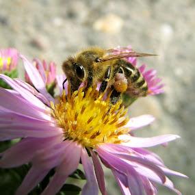 The Bee by Zeljko Secujski - Animals Insects & Spiders ( cvet, pcela, bee, belgrade, sombor, serbia, flower )