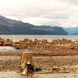 Buddy by John Golden - Animals - Dogs Puppies ( beaches, oregon, driftwood, dogs, northwest, travel, landscapes )