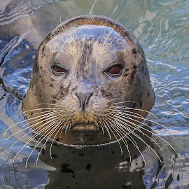 Seal by Garry Chisholm - Animals Other Mammals ( garry chisholm, nature, seal, rescue, mammal )
