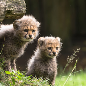 There must be an adventure by Jürgen Sprengart - Animals Lions, Tigers & Big Cats ( zoo, cubs, cheetha, starring, münster )