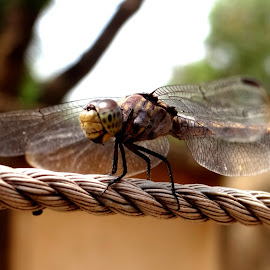Dragon fly.. by J Moner Koner Baire - Animals Insects & Spiders ( rope, macro photography, dragonfly, garden, wall )