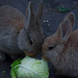 Rabbit lunchtime by Ruth Holt - Digital Art Animals ( giant rabbits, fluffy, messingham zoo, pair, north lincolnshire, cute, oil effect )