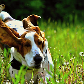 Flying Ears  by MarySue Price - Animals - Dogs Puppies ( pwcpuppies )