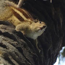 Chipmonk Squirrel by Soumyadeep Datta - Animals Other ( looking, cuteness, up and down, chipmunk, squirrel )