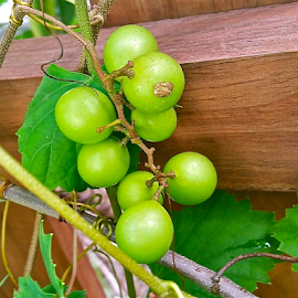{ Bullet Grapes ~ East wall of Garden's }  by Jeffrey Lee - Nature Up Close Gardens & Produce ( { bullet grapes ~ east wall of garden's } )