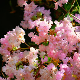 Brookelands Crepe Myrtle by Rhonda Kay - Flowers Tree Blossoms