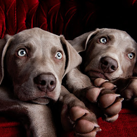 Lazy puppies by Jen St. Louis - Animals - Dogs Puppies ( studio, siblings, weimaraner puppies, weimaraner, puppies, weimaraners,  )