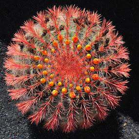 Cirtus by Tomasz Budziak - Nature Up Close Other plants ( spain, nature up close, cactus,  )