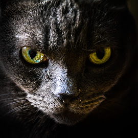 look me in the eye by Majdi  Laktinah - Animals - Cats Portraits ( cat, angry, darkness, black, eyes )