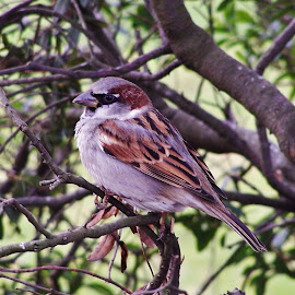 Sparrow by Sarah Harding - Novices Only Wildlife ( bird, nature, outdoors, novices only, wildlife )