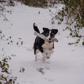 Bella by Sarah Tregear - Animals - Dogs Running ( running, cornwall, snow, bella, run, dog )
