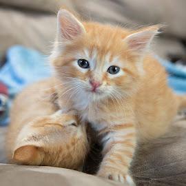 by Brook Kornegay - Animals - Cats Kittens ( orange, kitten, cat, ginger, pet, baby, feline, tabby, animal,  )