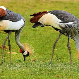Quel beau couple by Gérard CHATENET - Animals Birds