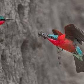 Carmine bee eater by Rian Van Schalkwyk - Animals Birds ( carmine bee eater, colourful, nesting, feeding, bee eater,  )