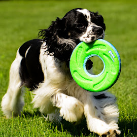 Frisbee Fetch by John Roberts - Animals - Dogs Playing