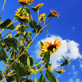 Sunflowers by Mallory Walsh-Ruggiero - Nature Up Close Flowers - 2011-2013