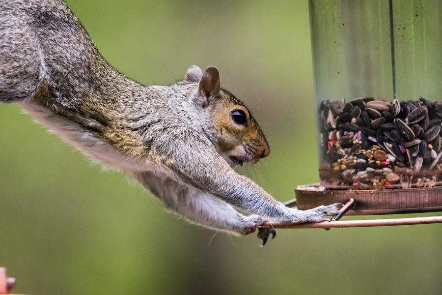 Squirrel Thief by Sandy Hogan - Animals Other Mammals ( bird_watching, bird_feeder, squirrels, wildlife, thieving_squirrel, squirrel,  )