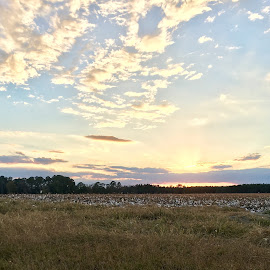 Sunset on a field by Cameron Horne - Landscapes Prairies, Meadows & Fields ( clouds, cotton, fields )