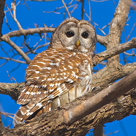 The Wise One by Rick Schultz - Animals Birds