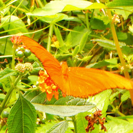 Julia Heliconian Butterfly 3 by Kristine Nicholas - Novices Only Wildlife ( butterfly, orange, green, insect, insects, leaves, macro, butterflies, bugs, nature, nature up close, bug, flowers, flower, berries )