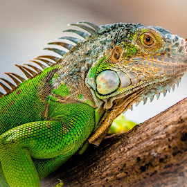by Joy Advent - Animals Reptiles