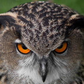 Eagle owl - Angry bird!!! by Peter Spowage - Animals Birds ( owl )