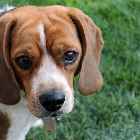 Wide Angle Lens Beagle by Shane Vandenberg - Animals - Dogs Portraits