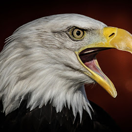 Sam by Garry Chisholm - Animals Birds ( bird, garry chisholm, eagle, nature, wildlife, prey, raptor )
