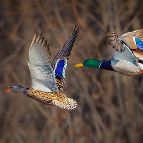 Mallards in Flight by Don Holland - Animals Birds