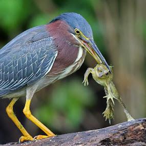 Lunch! by Anthony Goldman - Animals Birds ( bird, wild, nature, frog, florida, green, catch, wildlife, laleland, heron,  )