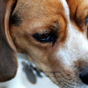 by Shane Vandenberg - Animals - Dogs Portraits ( beagle )