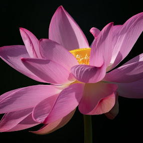 Lotus Blossom by Kimberly Sharp - Flowers Single Flower ( lotus flower, pink, blossom, black background, nature, yellow, black, lotus, beauty in nature, beautiful flower, flower, beautiful, blooming, bloom, white,  )
