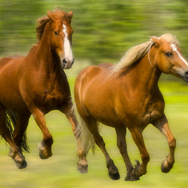 Running by Daniel Thomas - Animals Horses ( horses, speed, running, animal )