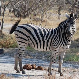 Zebra, Botswana by Isabelle Ebens - Animals Horses ( savannah, botswana, safari, zebra, africa )