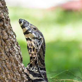 Goanna climbing tree by Joanna McGrow - Animals Reptiles ( lizard, patterns, nature, texture, wildlife, reptile,  )