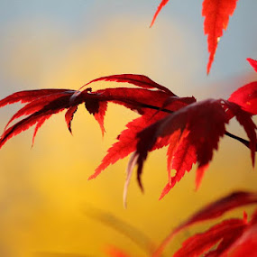 Golden Fall by Lena Arkell - Nature Up Close Leaves & Grasses ( japanese maple, fall colors, tree, autumn, maple,  )
