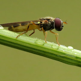THE HOVER by Barbara Croft - Animals Insects & Spiders ( up close., nature., insects, macro. )