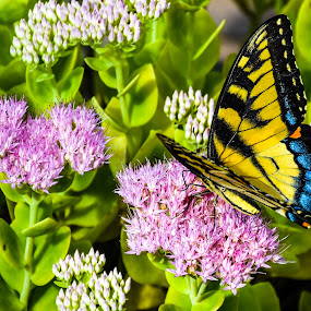 Butterfly on the Flower by Thomas Shaw - Animals Insects & Spiders ( plant, butterfly, pink flowers, yard, green, yellow, insect, leaves, swallowtail, photography, north carolina, nature, wings, bug, flowers, flower, black )