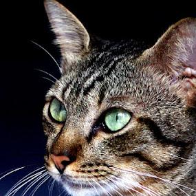 strenght by Zlatan Dawamovic - Animals - Cats Portraits