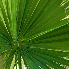 Palm leaf by Pixie Simona - Nature Up Close Leaves & Grasses ( palm, fresh, green, spring, palm leaf,  )