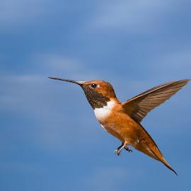 Hummingbird in Flight by Lee Davenport - Animals Birds
