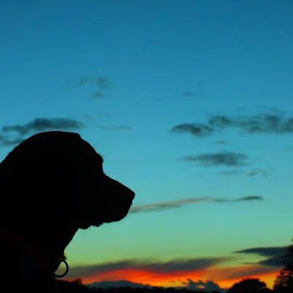 My boy in the sunset by Darren Lumley - Animals - Dogs Portraits