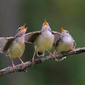 little birds singing by Taufik Taspa - Animals Birds ( bird, wild, wildlife, birding )