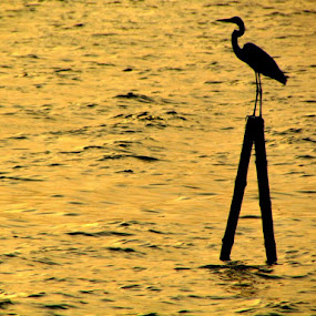 When sun sets by Ravi Shankar Dutta - Animals Birds