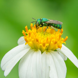 Bee by Minh Hải - Animals Insects & Spiders ( colorful, green, beautiful, yellow, leaf, landscape, sunlight, insect, macro, nature, tree, fly, color, light, vietnam landscape, flower )