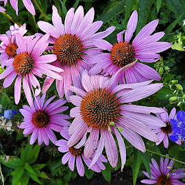 Pink coneflowers in the garden by Mary Gallo - Flowers Flower Gardens ( flowers, nature, coneflowers, nature up close, garden flowers, pink coneflowers,  )
