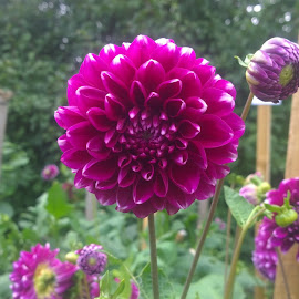 Bright Pink Dahlia by Becky Walker - Novices Only Flowers & Plants ( bright pink, bright, beautiful, gardens, bright flower, vibrant, beauty, pretty, colour, harrogate, pink flower, colourful, nature, gorgeous, allotment, lovely, pink, flowers, dahlia, natural, flower )