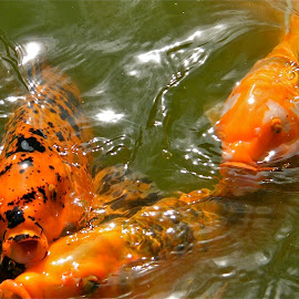 Hungry Koi by Donna Probasco - Novices Only Wildlife