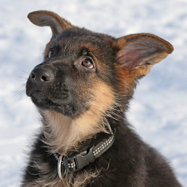 Puppy eyes by Mia Ikonen - Animals - Dogs Puppies ( finland, adorable, cute, expressive, german shepherd )