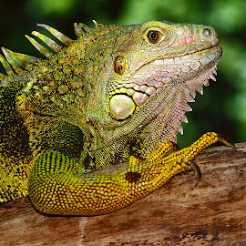Green iguana female by Gérard CHATENET - Animals Reptiles